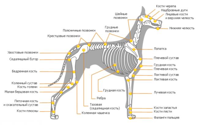 Строение скелета собаки на рисунке