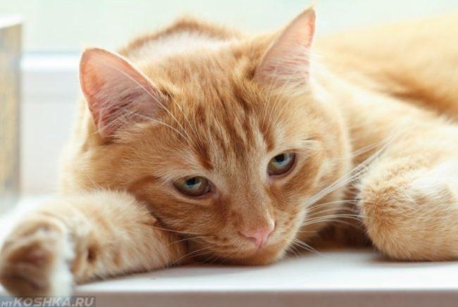 Слабость у рыжего полосатого кота