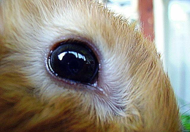 Больной глаз кролика с покраснением века и обильным слезотечением