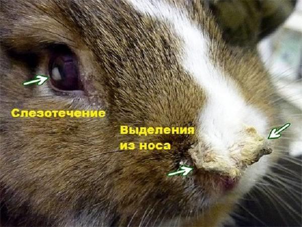 Первые симптомы пастереллиоза на глазах и носу домашнего кролика
