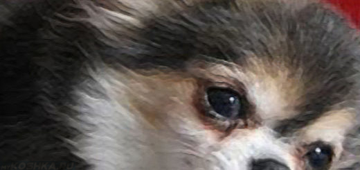 Собака породы Пекинес после инфаркта