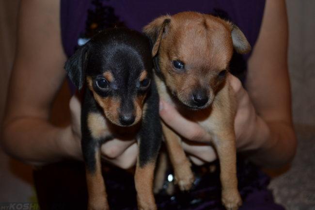 Собаки с признаками гидроцефалии