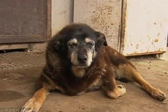Старая собака лежащая на дороге