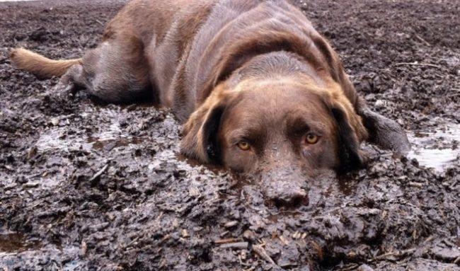 Собака лежащая на животе в грязи