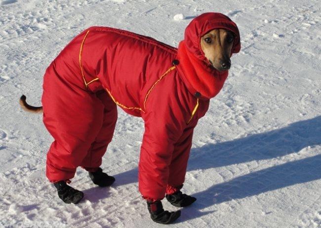 Собака в тёплой одежде зимой