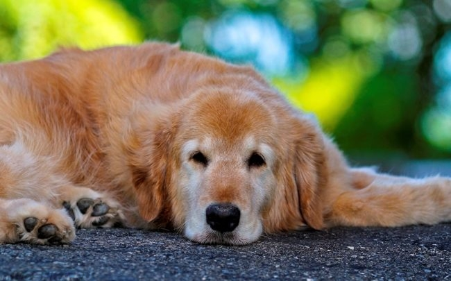 Вялая собака лежащая на асфальте