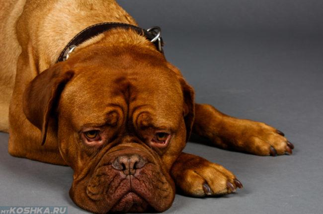 Вялая собака коричневого окраса