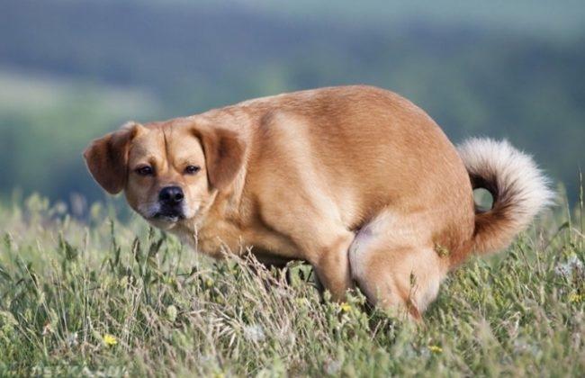 Запор у собаки на поле с травой