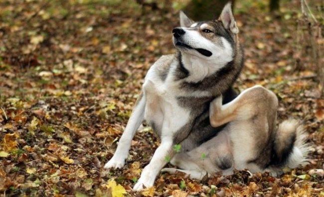 Зуд у собаки по причине наличия клеща
