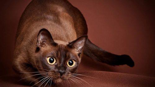 Бурманская кошка с выразительным заинтересованным взглядом