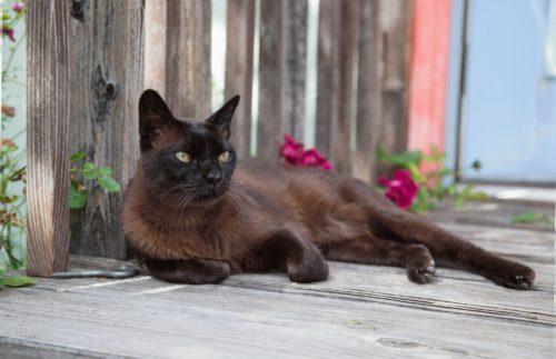 Бурманская кошка на деревянном крыльце в ожидании своего хозяина
