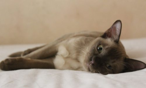 Короткошерстная бурманская кошка, лежащая на боку вытянув лапы