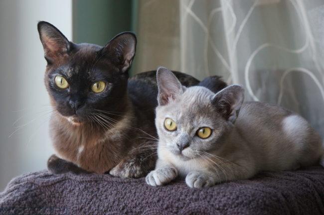 Две бурманские кошки разного возраста лежат на мягком стуле