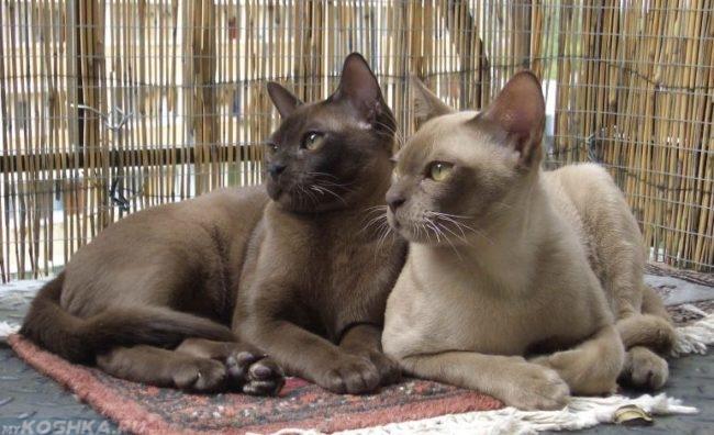 Взрослые кошки бурманской породы на фоне бамбуковой шторы