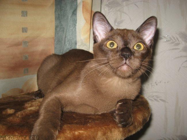 Фото бурманской кошки светло-шоколадного окраса