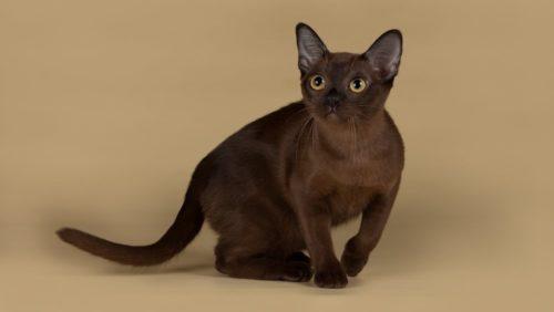 Кошка породы бурманская с гладкой шоколадной шерсткой