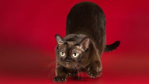 Темная бурманская кошка с округлой мордочкой