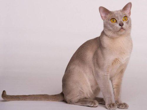 Бурманская кошка светлого окраса, сидящая на задних лапах
