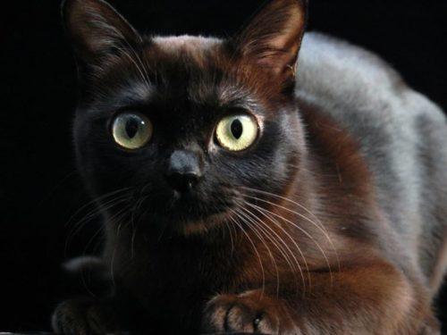 Мордочка кошки бурманской породы с большими глазами