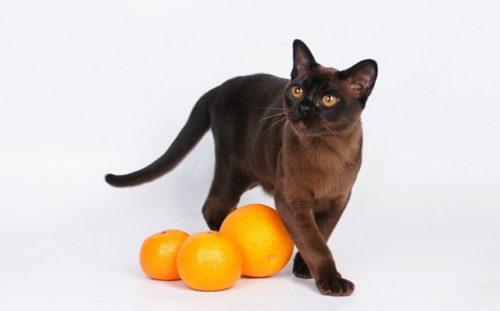 Бурманская кошка темного окраса и три оранжевых апельсина