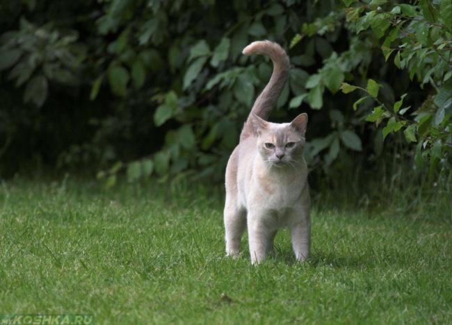 Бурманская кошка на прогулке по зеленому газону
