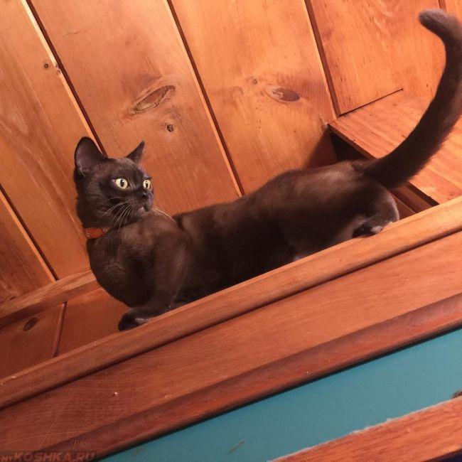 Бурманская кошка темного цвета на высокой деревянной полке