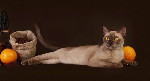 Короткошерстная бурманская кошка шоколадного окраса