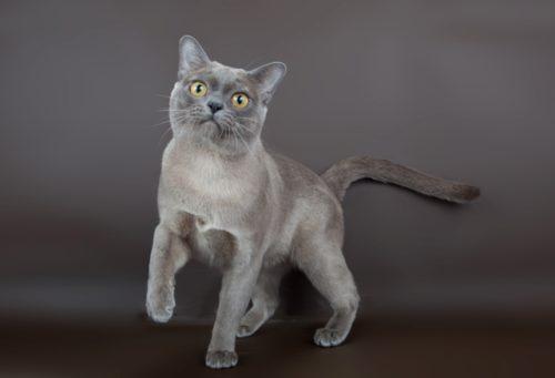 Бурманская кошка с голубым цветом шерсти