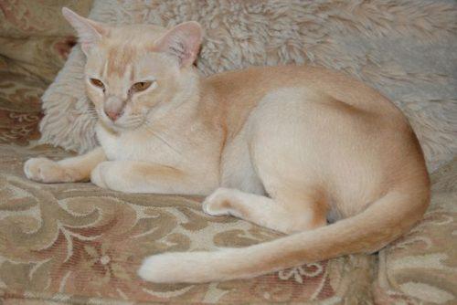 Бурманская кошка с красноватым окрасом шерсти