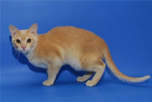Кошка бурманская кремового окраса на синем фоне