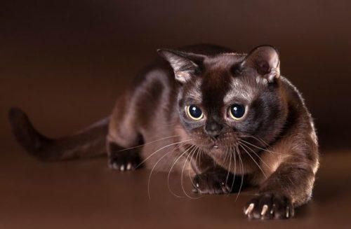 Американская бурманская кошка соболиного окраса с переливающейся на свету шерстью