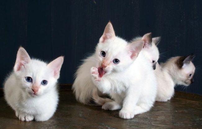 Четыре маленьких котенка породы Сноу-шу ярко-белого окраса