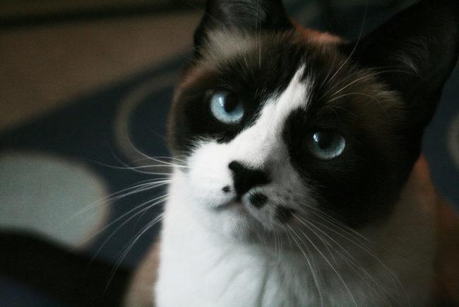 Недовольный взгляд кошки породы Сноу-шу с пятнистой мордочкой