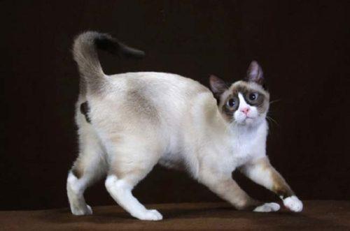 Кошка породы Сноу-шу с выгнутой спиной на черном фоне