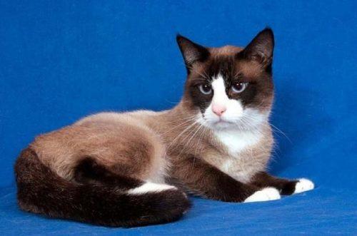 Кошка породы Сноу-шу на фотосессии