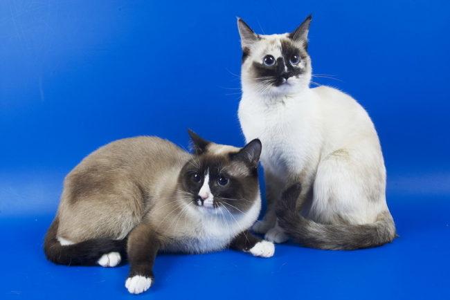 Две взрослых кошки породы Сноу-шу различного цвета – светлая и темная
