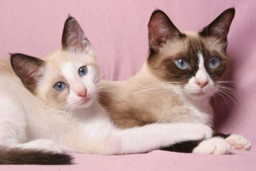 Взрослая кошка породы Сноу шу и её подросший котенок