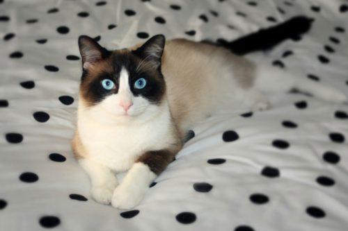 Длинношерстная кошка породы Сноу-шу лежит на кровати