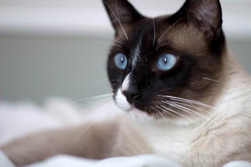 Взрослая кошка породы Сноу-шу с мордочкой темного окраса