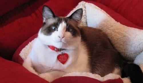 Отдыхающая на подстилке кошка породы Сноу-шу и бардовые подушки