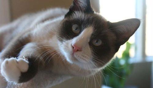 Кошка пестрой окраски породы Сноу-шу в прыжке