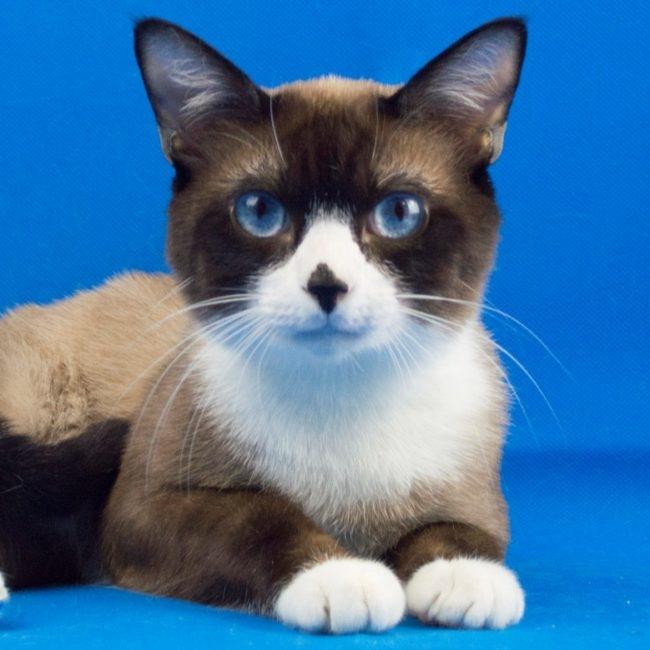 Фото кошки породы Сноу-шу с навостренными ушками и поджатыми лапками