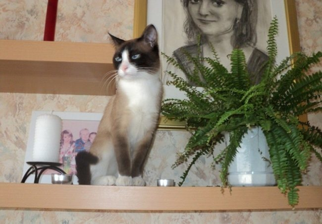 Кошка породы Сноу-шу с темным хвостом, сидящая на полке около портрета
