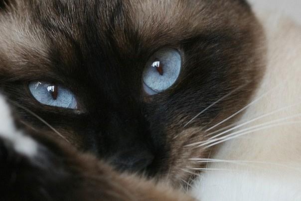 Выразительные глаза голубого цвета у кошки породы Сноу-шу и седые усы