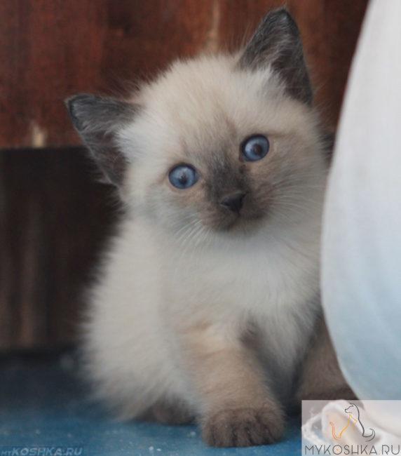 Котёнок Сиамской породы смотрит в объектив
