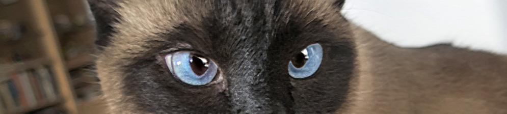 Морда сиамской кошки вблизи