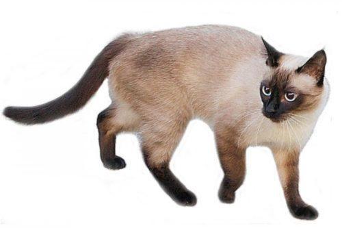 Взрослая сиамская кошка с худощавым телосложением