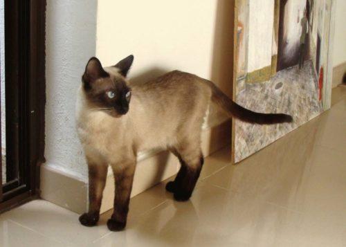 Сиамская кошка с темными лапами на полу из керамического гранита