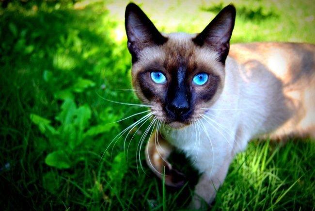 Домашняя сиамская кошка на прогулке по зеленой траве газона