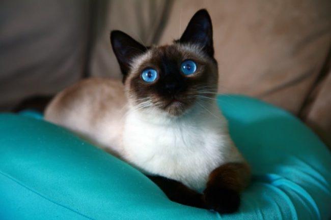 Интересный взгляд сиамской кошки, лежащей на мягкой подушке